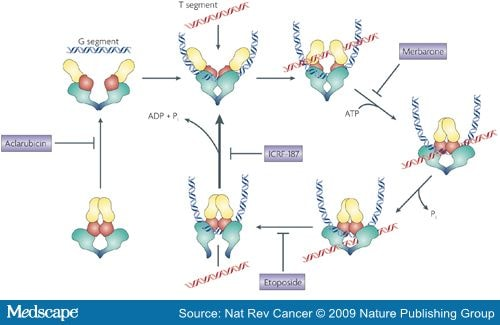 Targeting Dna Topoisomerase Ii In Cancer Chemotherapy