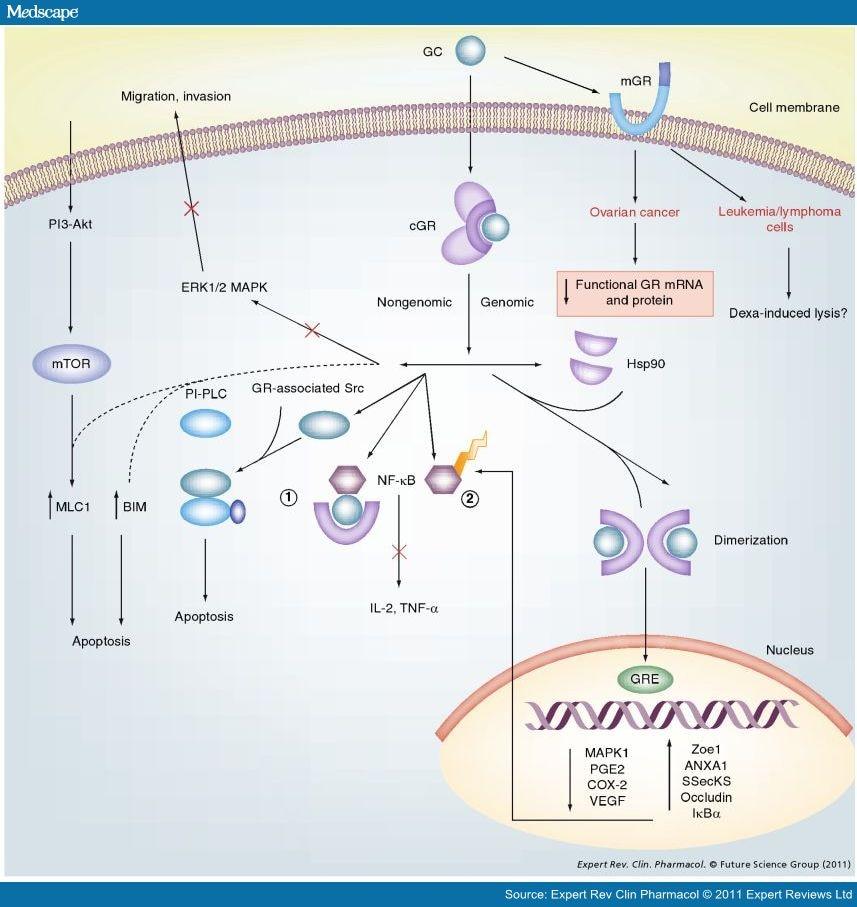 non-genomic effects of corticosteroids
