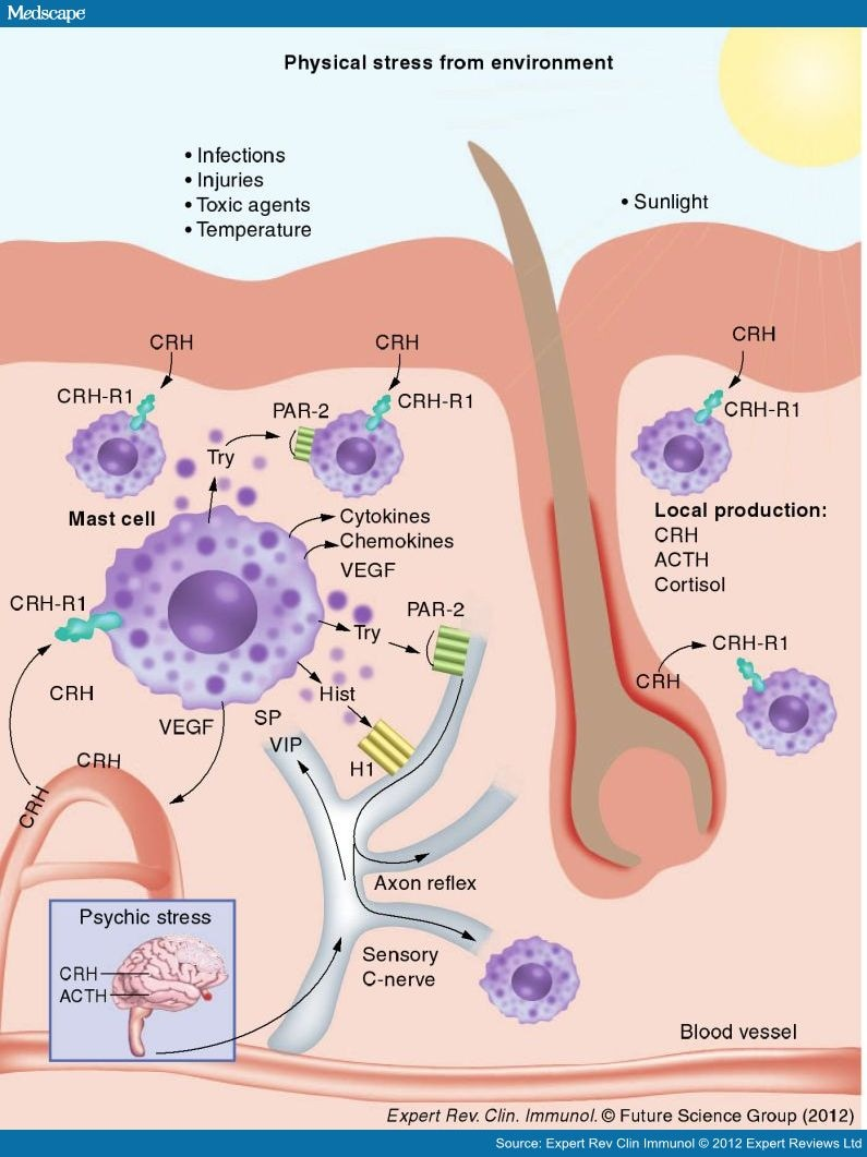 Stress The Neuroendocrine System And Mast Cells