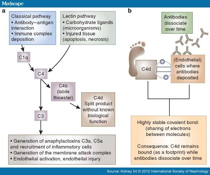 Pros And Cons For C4d As A Biomarker