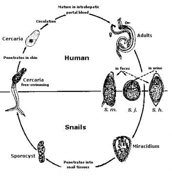 Adult worms in humans reside in the veins in vario