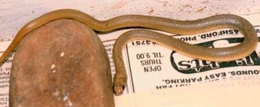 Pseudonaja guttata (speckled brown snake).