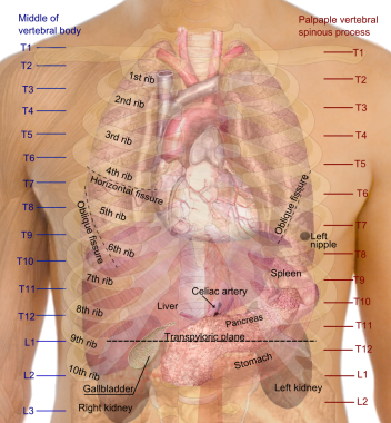 Anatomy of the chest wall