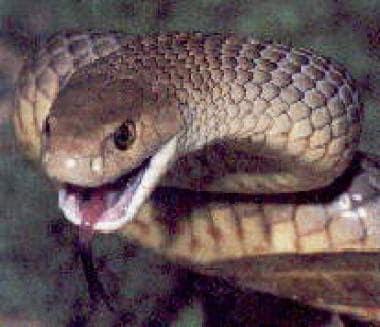 Pseudonaja textilis (eastern brown snake).