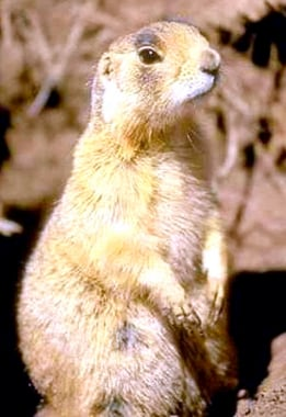 The prairie dog is a burrowing rodent of the genus