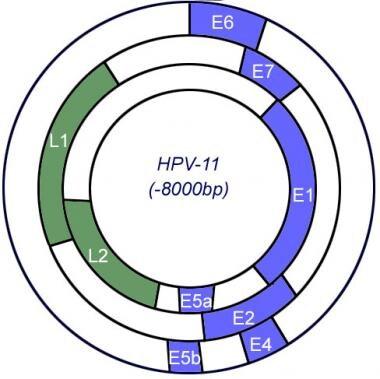 Human papillomavirus genome.
