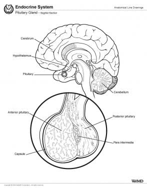 Pituitary gland, sagittal section.