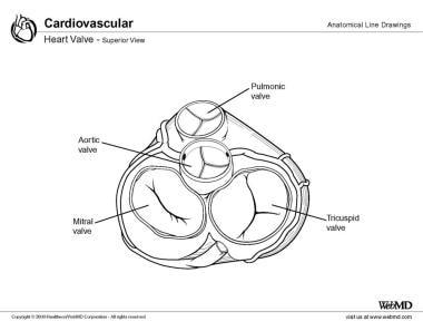 Аортальный клапан улучшенный вид.  Аортальный клапан Аортальный клапан 12305tn