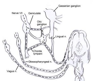 Diagram showing lingual innervation via cranial ne