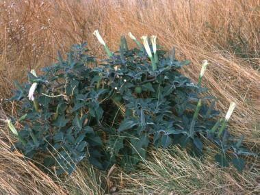 Datura stramonium (jimson weed). Note 4-5 inch lon