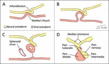 Development of pituitary gland. A: Infundibulum an