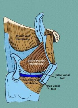 Image shows membranes of the larynx. Courtesy of W