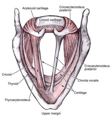 Illustration of the intrinsic muscles of the laryn
