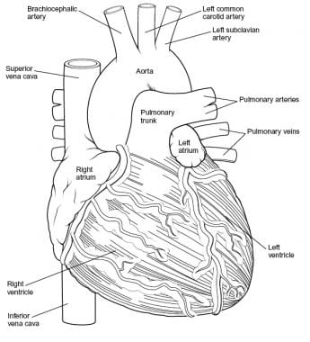 Heart, anterior view.