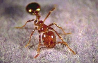 Red imported fire ant worker. From http://fireant.