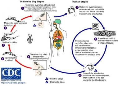 Life cycle of triatomines. Courtesy of the CDC.
