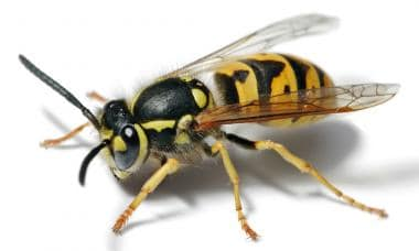 Yellow jacket wasp. Image courtesy of US Centers f