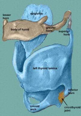 Anterior view of the laryngeal skeleton. Courtesy