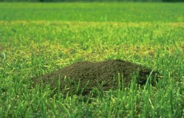 Fire ant mound in lawn. From http://fireant.tamu.e