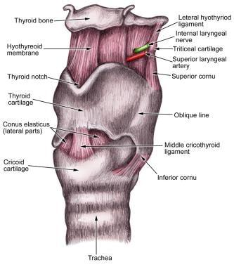 Illustration of the larynx.