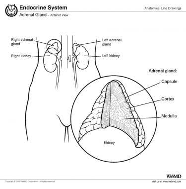 Suprarenal (adrenal) gland, anterior view.