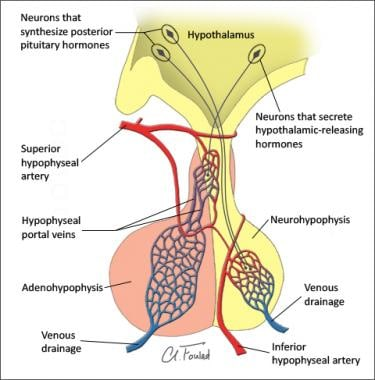 pituitary gland anatomy: overview, gross anatomy, microscopic anatomy, Cephalic Vein