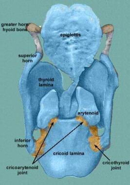 Posterior view of the laryngeal skeleton. Courtesy
