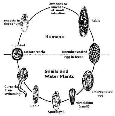 Life cycle of Fasciolopsis buski. Image reproduced