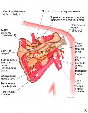 Anatomy of the suprascapular nerve and parascapula