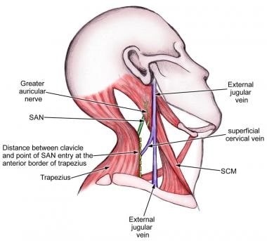 Course of the spinal accessory nerve (SAN) in the