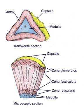 Microscopic and transverse section of capsule.