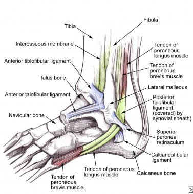 Anatomy of ankle tendons