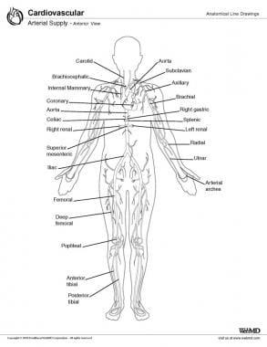 Arterial supply, anterior view.