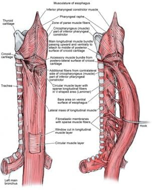Musculature of the esophagus.