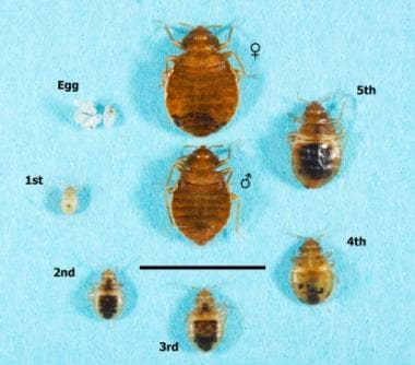 Various stages of the bed bug life cycle. © 2014 A