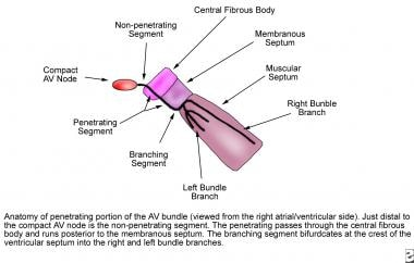 Anatomy of the penetrating portion of the atrioven