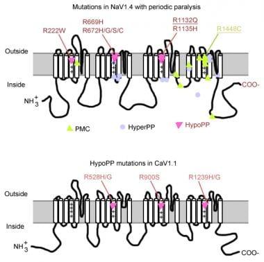 Mutations in periodic paralysis.
