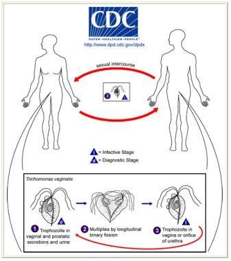 Life cycle of Trichomonas vaginalis. T vaginalis t