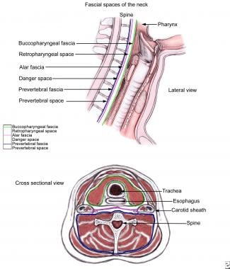 Schematic of anatomy of deep spaces of neck, as il