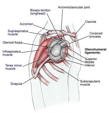 shoulder joint anatomy: overview, gross anatomy, microscopic anatomy, Cephalic vein