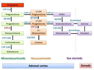 overview of steroidogenic enzymes in the pathway from