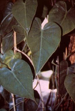 Philodendron.
