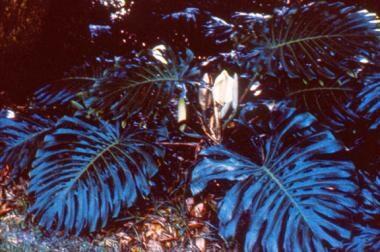 Split leaf philodendron.