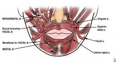 Anatomy of the lip region.