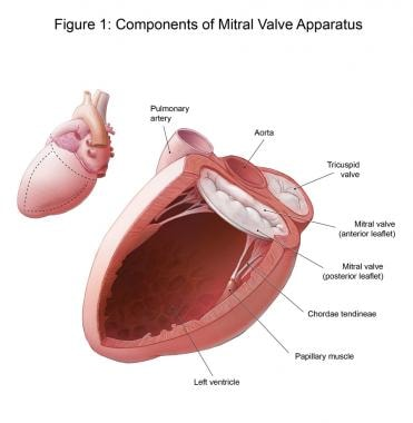 Components of the mitral valve apparatus.