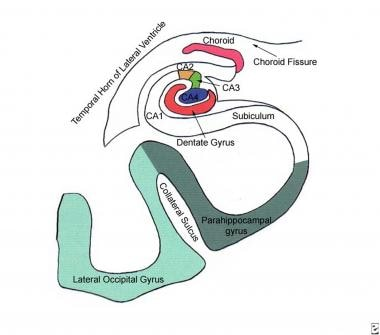 Diagram of the hippocampal anatomy and adjacent st