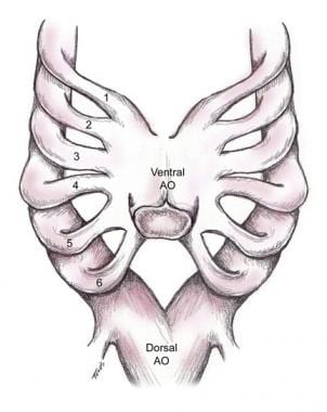 Embryonic aortic arch with dorsal and ventral arch