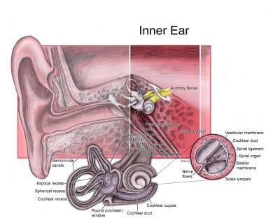 Inner ear.