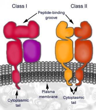 MHC macromolecular structure.