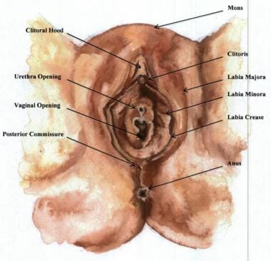 Anatomical diagram of the vulva. The typical exter